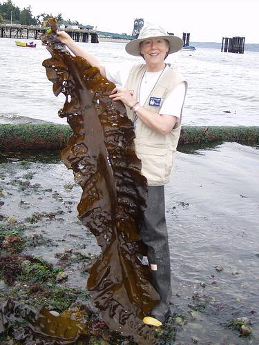 Сбор морской капусты (ламинарии)