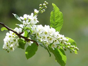 Цветы черемухи польза