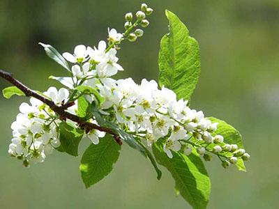 Цветы черемухи полезные свойства
